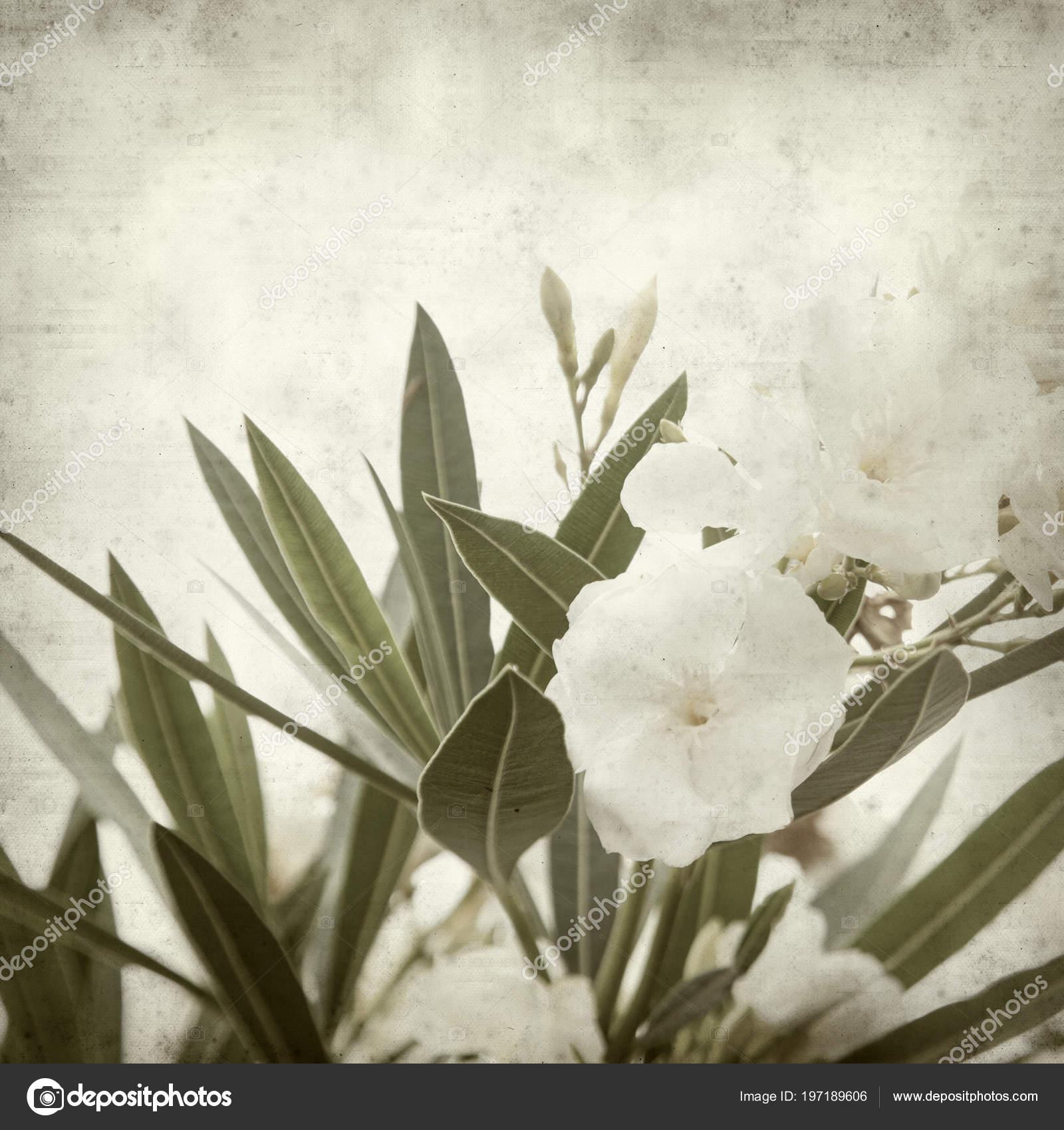 Textured old paper background white oleander flowers stock photo textured old paper background white oleander flowers stock photo mightylinksfo