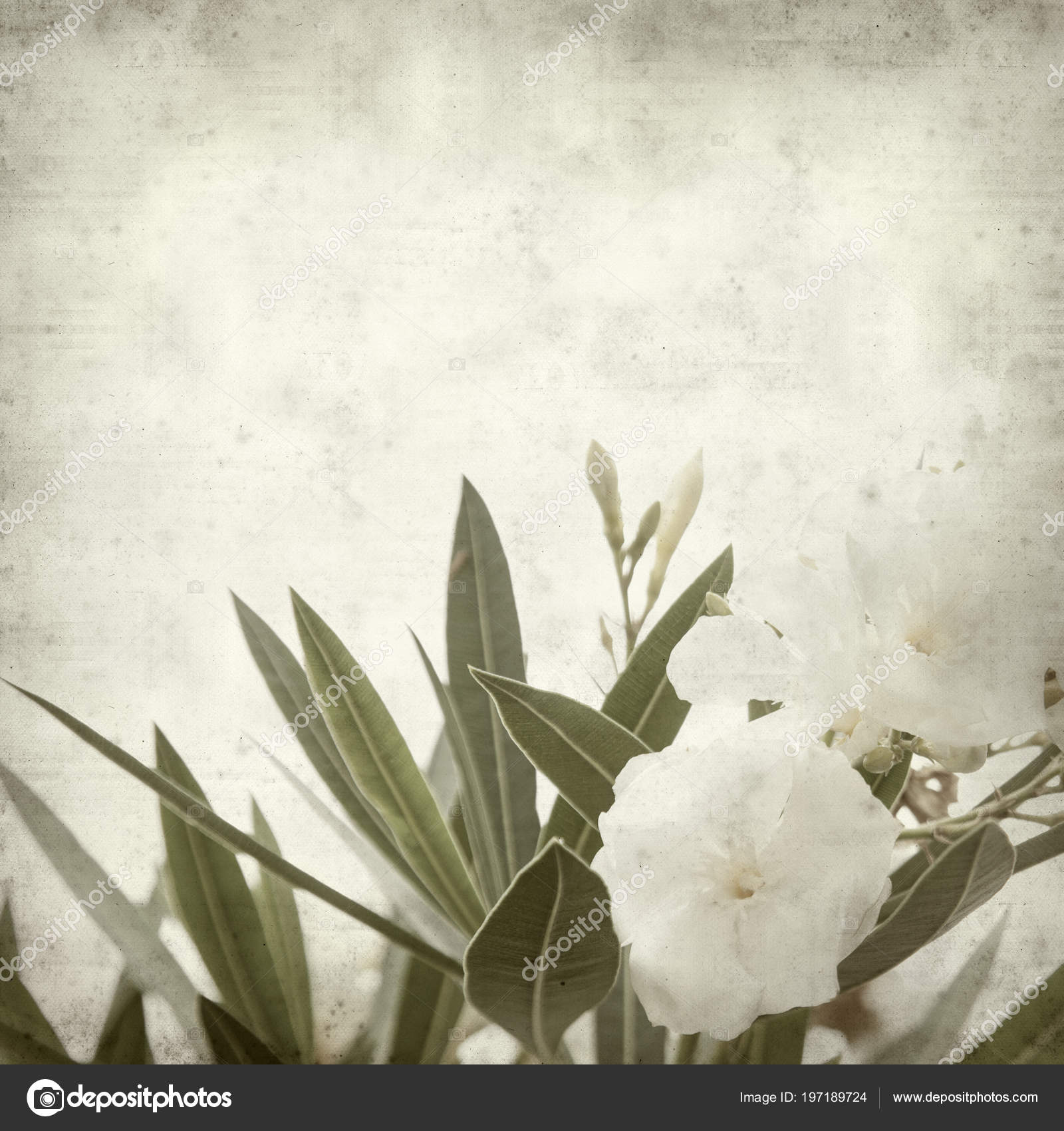Textured Old Paper Background White Oleander Flowers Stock Photo