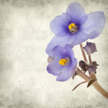textured old paper background with blue African violet flowers