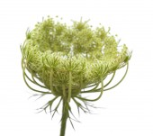 small unripe fruit of wild carrot isolated on white background