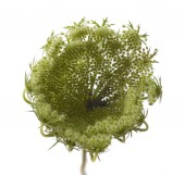 small unripe fruits of wild carrot isolated on white background