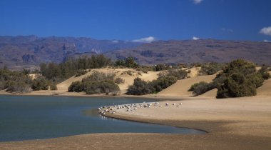 Charca de Maspalomas, Maspalomas lagoon, important natural environment, especially suitable for birds
