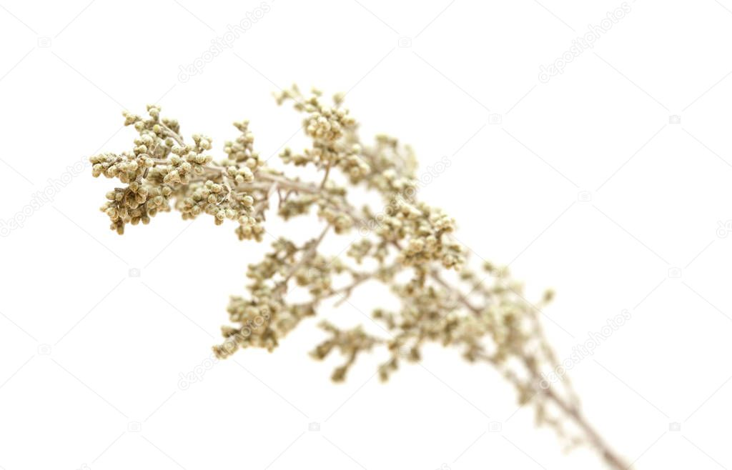 flora of Gran Canaria - Artemisia ramosa, branched wormwood, endemic to Gran Canaria and Tenerife