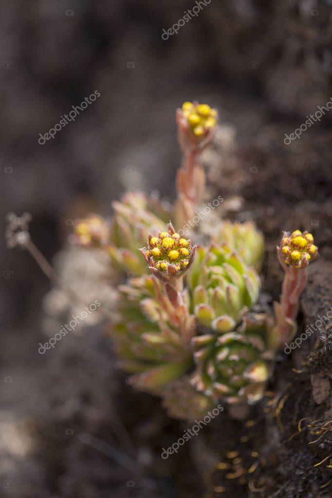 Flora of Gran Canaria - Aeonium simsii