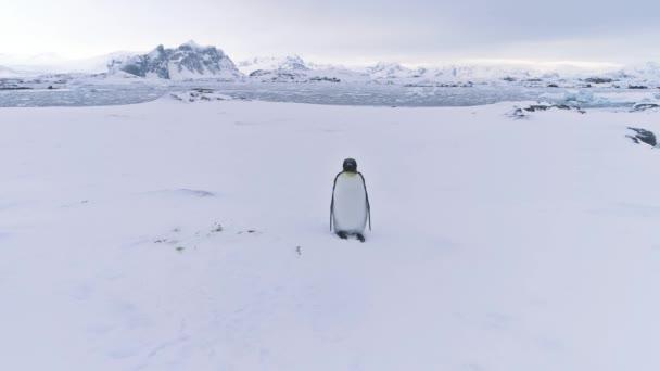 King penguin. Antarctic landscape. Aerial flight.