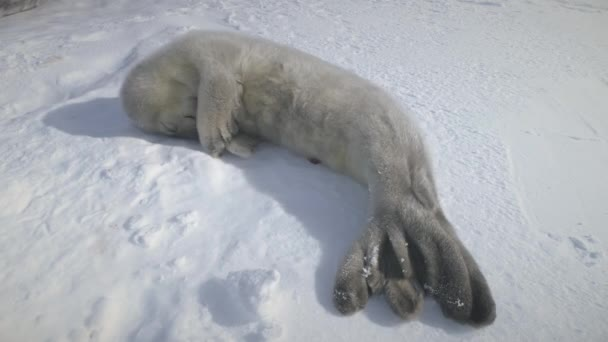 Dozing puppy seal lying on snow. Antarctica shot.
