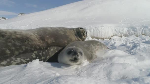 Detail dětské, dospělé těsnění na sněhu Antarktida půdy.