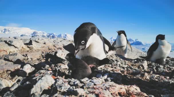 Detail samice tučňáka s dětmi. Antarktida.
