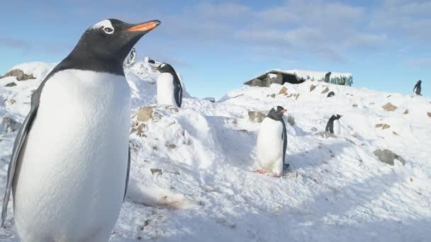 Gentoo pingvin Antarktisz madár közeli portré