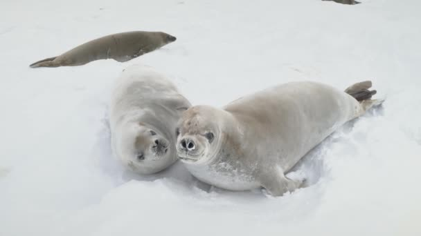 Young weddell seal play together close-up view