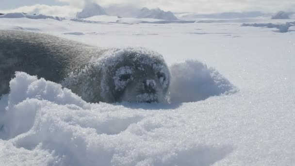 Tuleň Weddellův umístěte hluboké antarktické sníh closeup