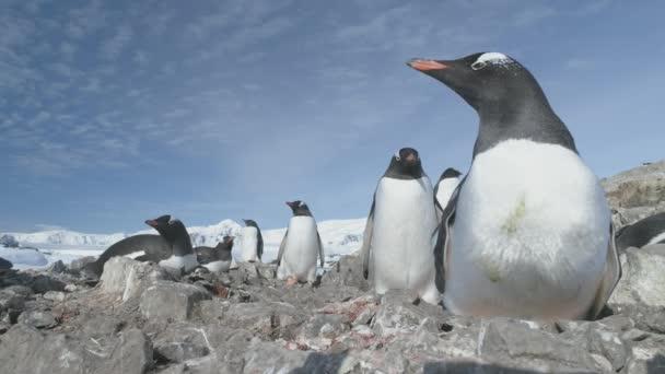 Tučňák oslí Antarktidy v oblázkové vnořit closeup