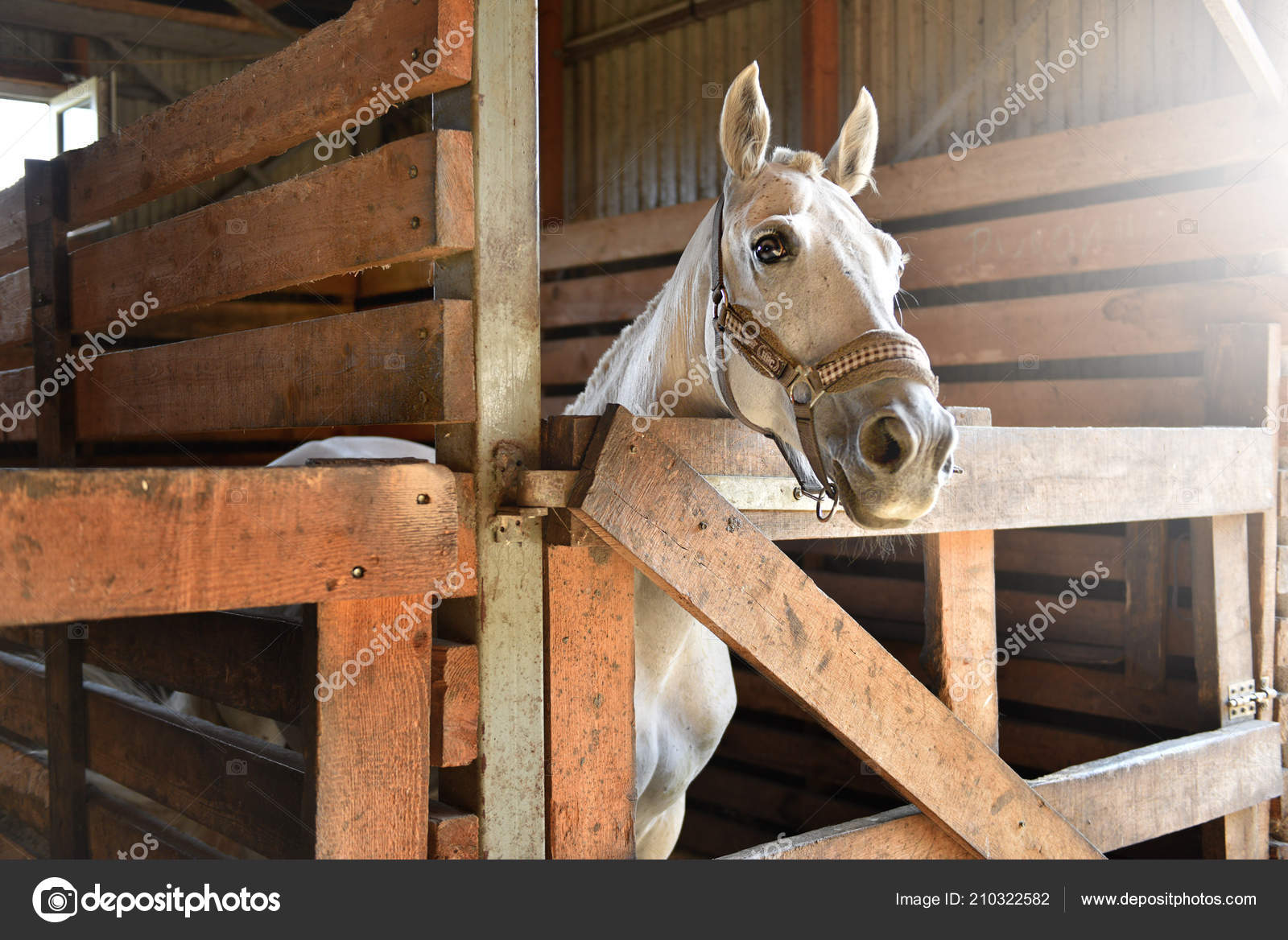 Pictures Real Life Horse White Horse Stable Stock Photo C Dedukh 210322582