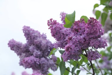Outdoor image of beautiful lilac bush, Moscow, Russia. Selective focus.