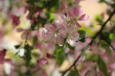 Beautiful outdoor image of blossom pink apple tree in the park at sunny spring day, Moscow, Russian Federation. Selected focus.