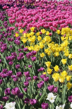 Beautiful and colorful blossom tulip flowers meadow. Selective focus.