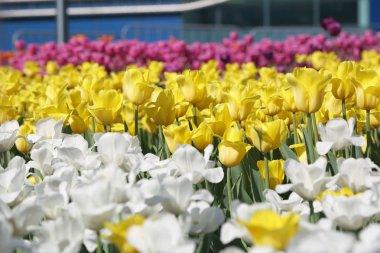 """Картина, постер, плакат, фотообои """"красивые и красочные цветущие цветы тюльпан луг. селективный фокус ."""", артикул 196601150"""