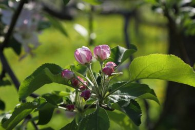 Lovely and tender apple tree blossom. Selected focus.