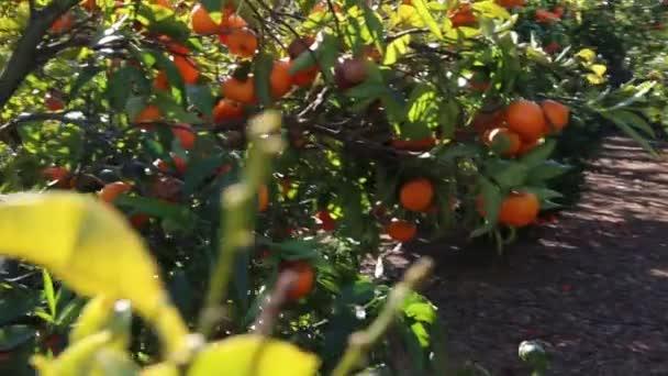 alten Mandarinenplantage. ausgewählter Schwerpunkt