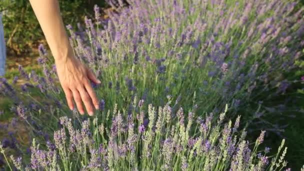 Selected focus on lavender field during sunset