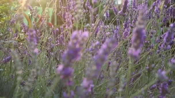 Lila virágok a levendula naplementében