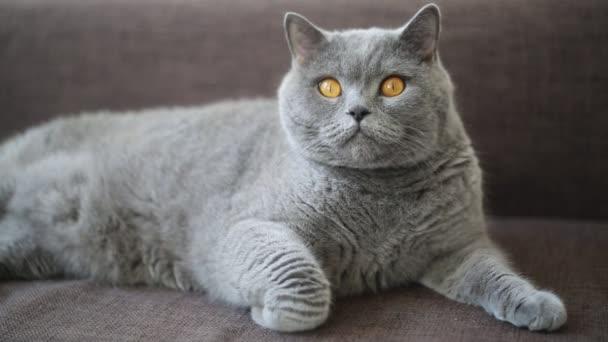 Britská plodová kočka se pózuje jako modelka