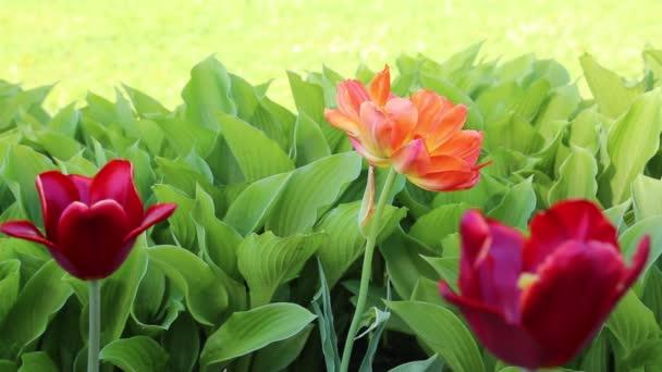 A tulipán virágzik tavasszal. Kijelölt fókusz.
