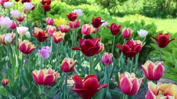 Krásné tulipány kvetou ve jarní době. Vybrané zaměření.