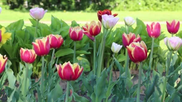 Gyönyörű tulipánok virágzik tavasszal. Kijelölt fókusz.