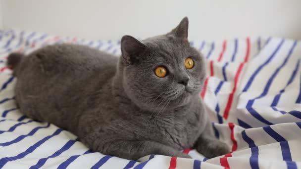 Milá šedá britská plemenná kočka se pózuje na kameře