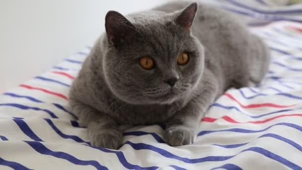 niedliche graue Britische Rasse Katze posiert vor der Kamera