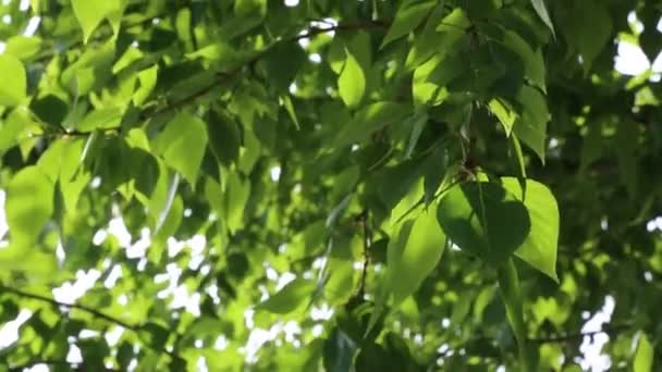 Green leaves are waving on the trees at springtime. Selected focus. Blur background.