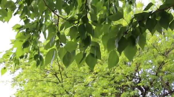 Zelené lístky mávají na stromech ve jarní době. Vybrané zaměření. Rozostření pozadí.