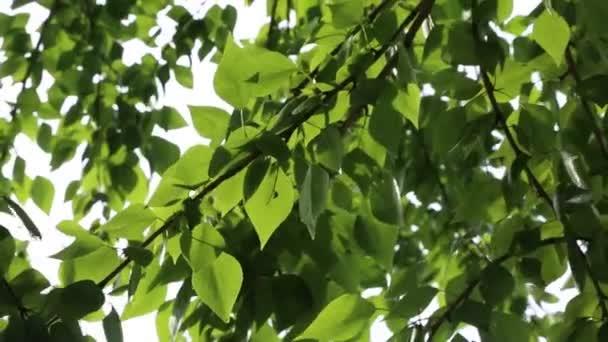 Im Frühling wehen grüne Blätter an den Bäumen. ausgewählter Schwerpunkt. Hintergrund verschwimmen lassen.