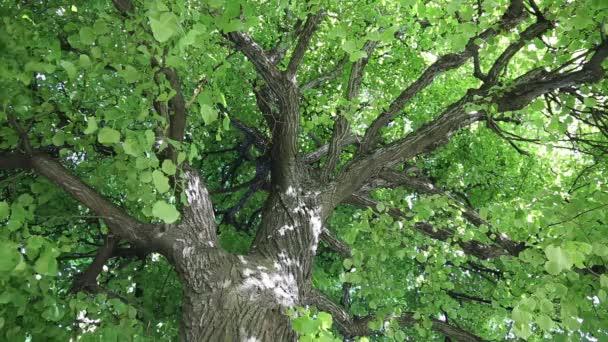 Listy stromů Lindenů se kymácejí ve větru