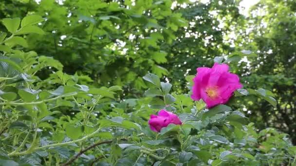 Křoví divoké růže kvete