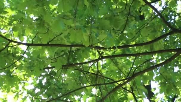 Lindenblätter wiegen sich im Wind