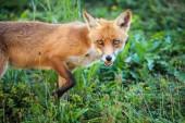 Fotografia Red fox nel suo habitat naturali - fauna selvatica girata