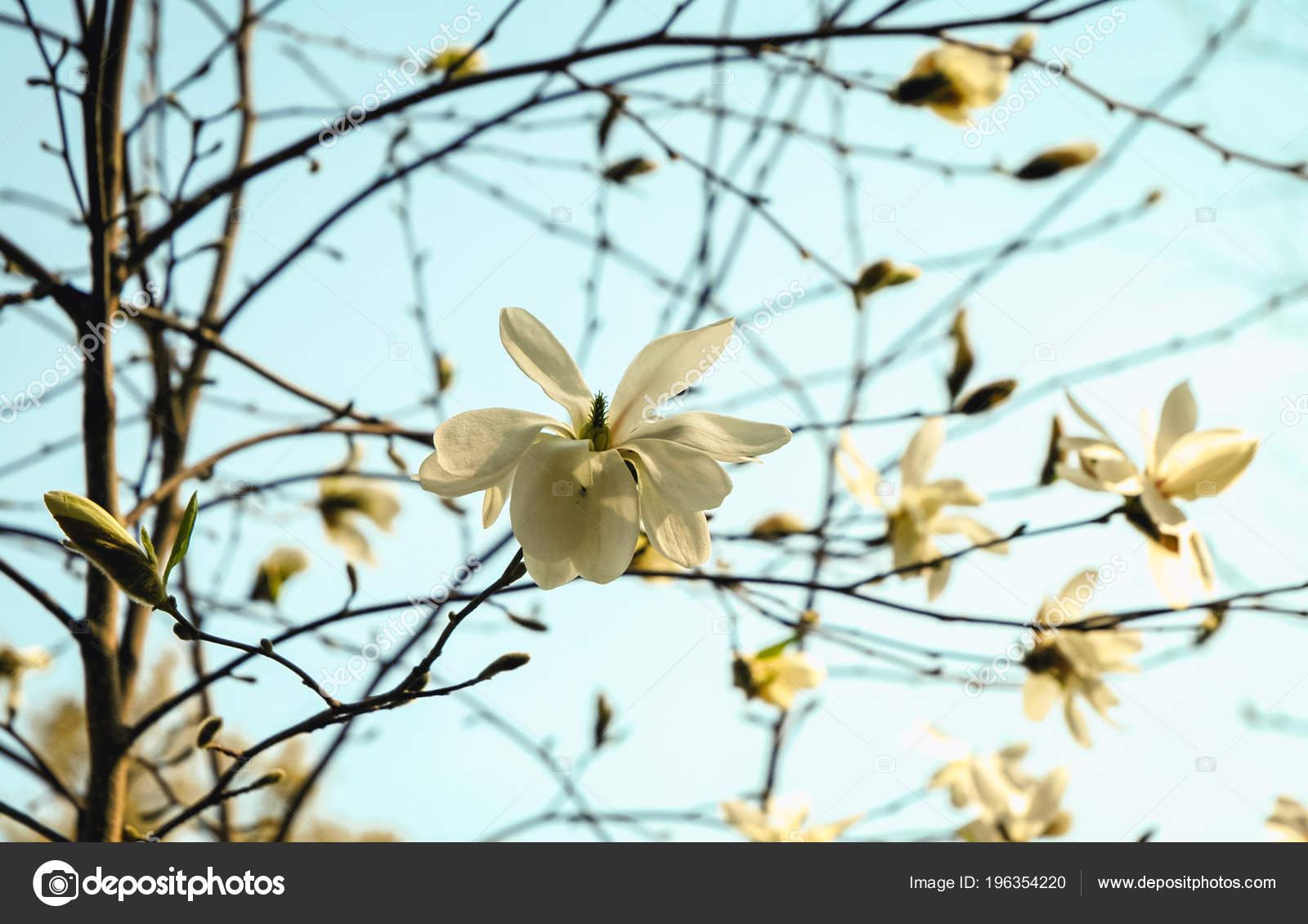 Star Magnolia Tree Full Bloom Garden Stock Photo Fotokon 196354220