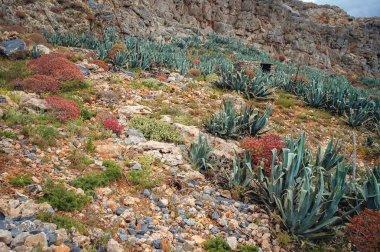 Plants on a uninhabited Imeri Gramvousa Island near island of Crete, Greece