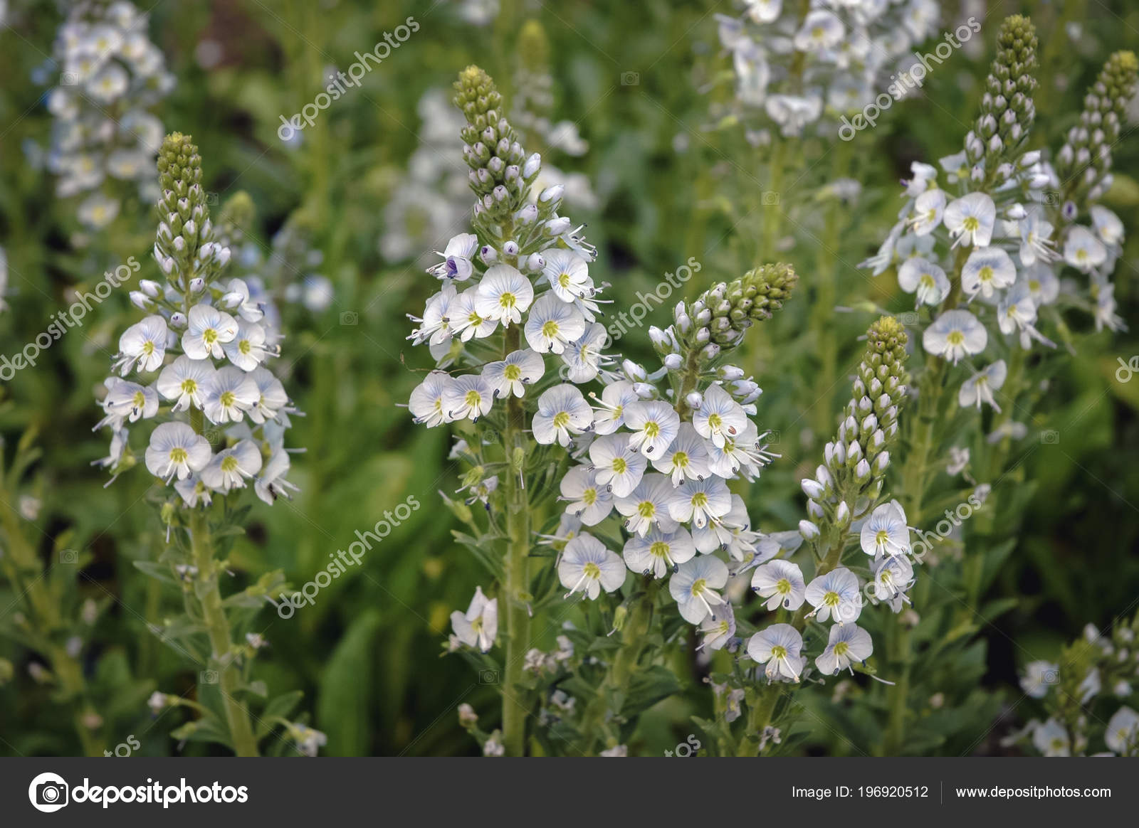 Close white flowers veronica gentianoides plant commonly known close up on a white flowers of veronica gentianoides plant commonly known as gentian speedwell photo by fotokon mightylinksfo
