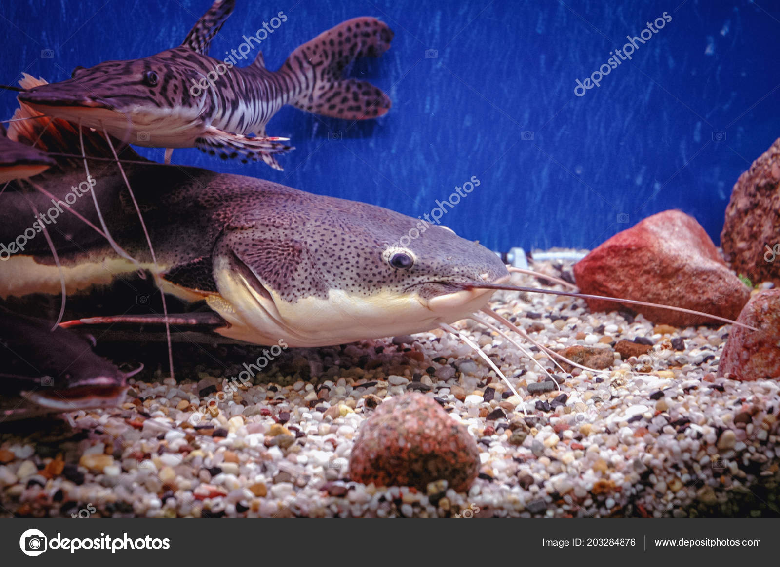 Barred Sorubim Redtail Catfish Fish Tank Stock Photo C Fotokon