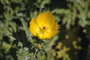 Mexican poppy flower