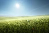 Zelené pole pšenice v Toskánsku, Itálie