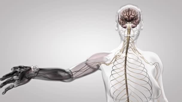 menschliches Gehirn mit Anatomie des Nervensystem1