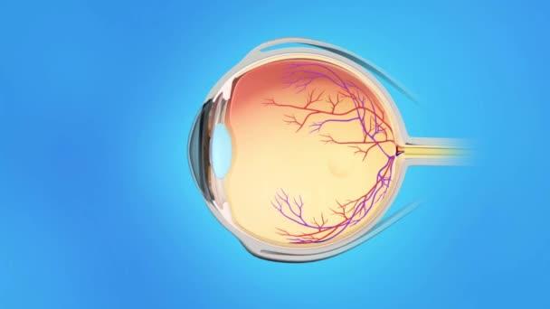 Human eye anatomy on blue background