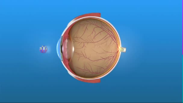 Anatomy and Structure of the Eye