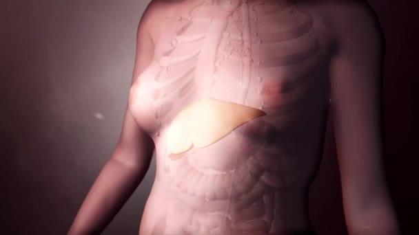 Realistická animovaná průhledná vnitřní orgány lymfatické uzliny, játra.