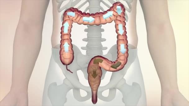 Lidský instinkt-kontrola anatomie. Trávicí systém