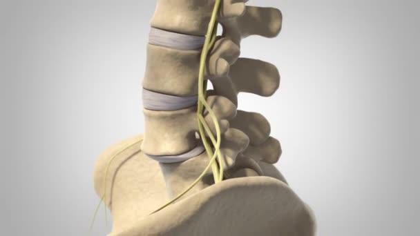 female skeletal system side view